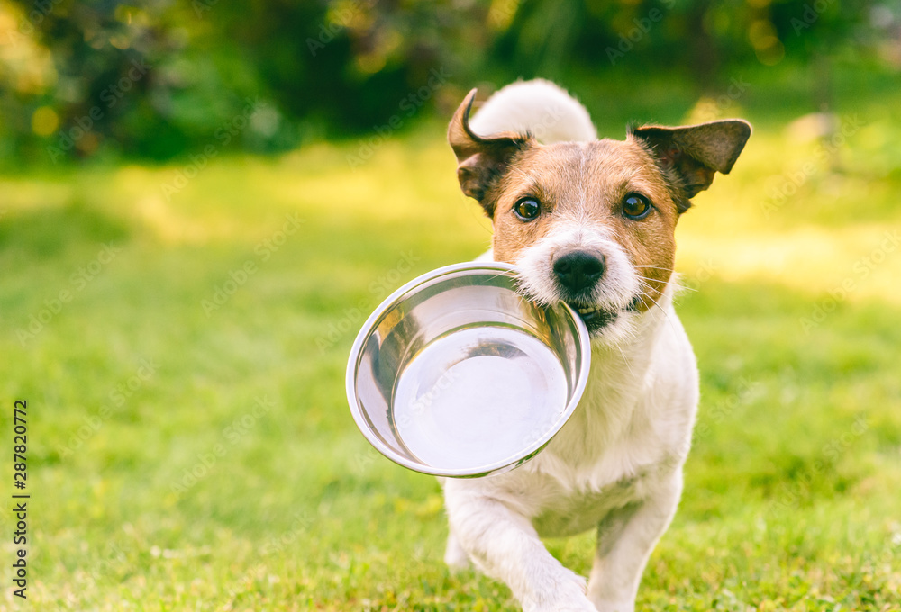 Fototapeta Hungry or thirsty dog fetches metal bowl to get feed or water