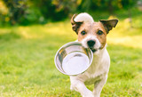 Fototapeta Zwierzęta - Hungry or thirsty dog fetches metal bowl to get feed or water