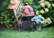 Cat And Hydrangea Flowers