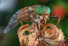 Horsefly Insect Macro Green Eye Big Color