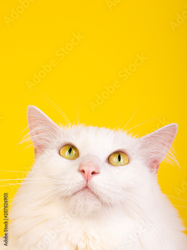 Yellow Eyed adorable hairy cat looking up surprised curious yellow background seamless studio photo