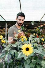 Worker In A Garden Center Checking A Sunflower