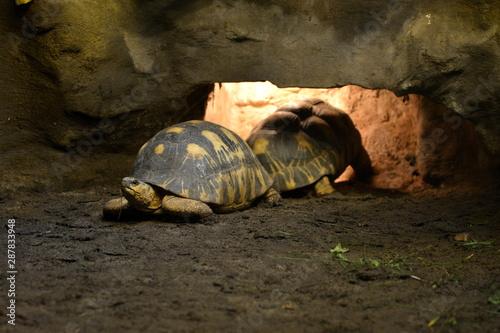 żółw promienisty - fototapety na wymiar