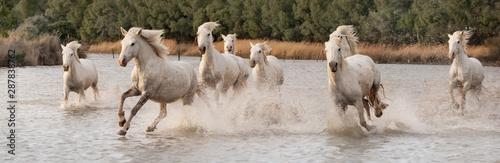 Fototapeta White horses in Camargue, France. obraz