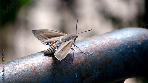 Moth still on a metal tube to blend in with a blurred background seen in detail Tablou Canvas