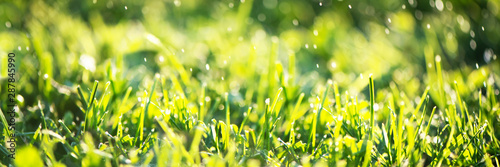 Poster de jardin Jaune Close up of fresh thick grass with water drops in the early morning