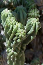 Cane Cholla Cactus Close Up