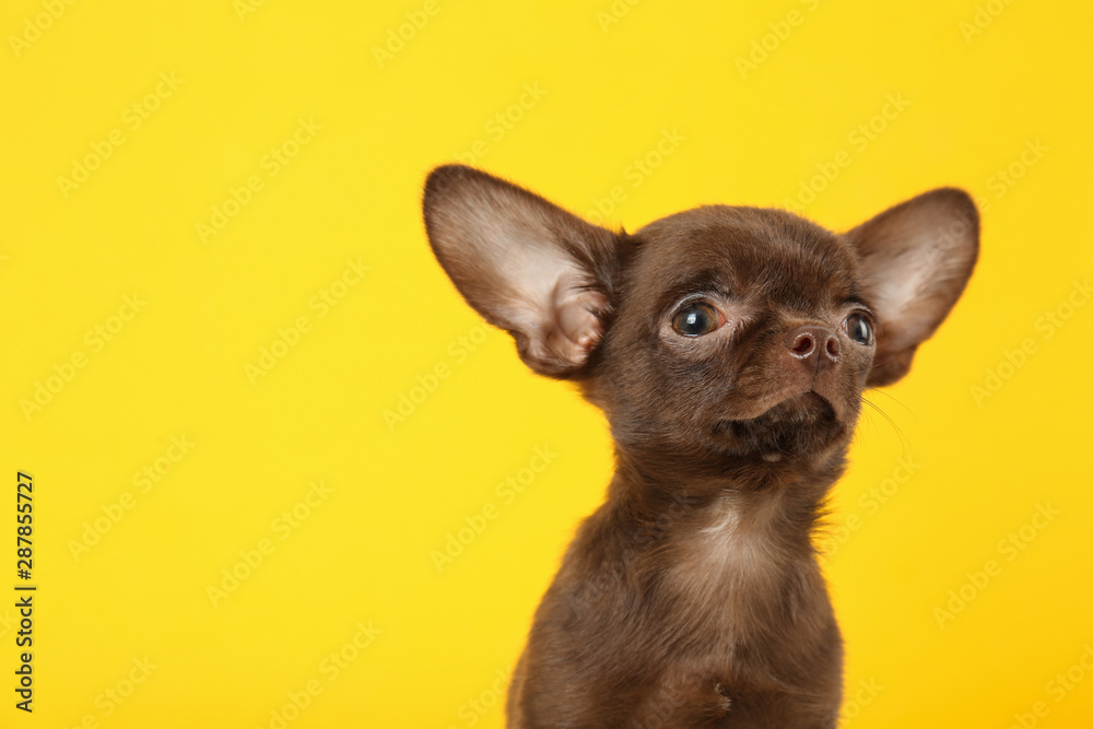 Fototapety, obrazy: Cute small Chihuahua dog on yellow background. Space for text