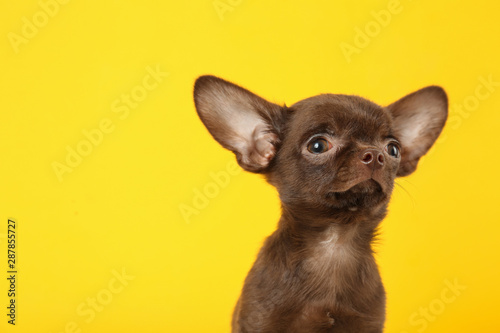 Fotografie, Obraz  Cute small Chihuahua dog on yellow background. Space for text