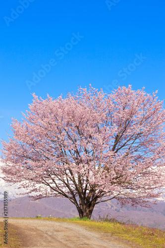 Cherry blossom in full bloom Wall mural