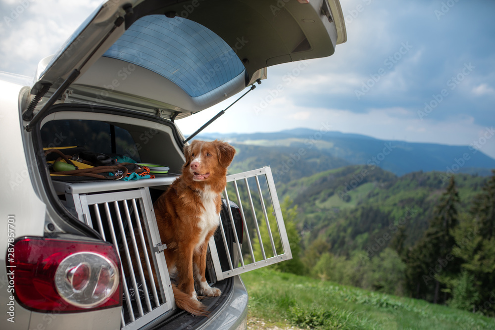 Fototapety, obrazy: dog in the car in the box. A trip with a pet. Nova Scotia Retriever outdoors