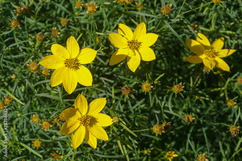 Threadleaf Zagreb (Coreopsis verticillata) is a North American species of tickseed in the sunflower family Canvas Print