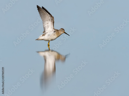 Photo  Stilt Sandpiper with Open Wings and Reflection in Blue Water