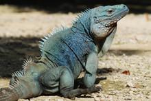 Endangered Grand Cayman Blue Iguana (Cyclura Lewisi) In Queen Elizabeth II Royal Botanic Park (portrait)