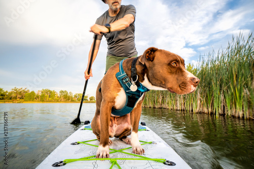 Ingelijste posters Eigen foto stand up paddling with a pitbull dog
