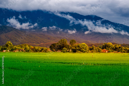 Fototapety, obrazy: The close background of the green rice fields, the seedlings that are growing, are seen in rural areas as the main occupation of rice farmers who grow rice for sale or living.