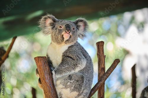 Photo Stands Koala Baby koala climbing and eating around a tree with eucalyptus leaves
