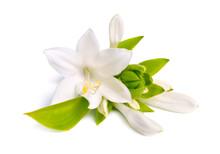 Flowers Hosta Plantaginea Isolated On White Background