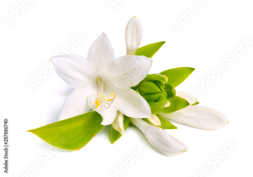 Printed kitchen splashbacks Floral Flowers Hosta plantaginea isolated on white background