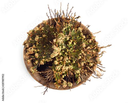 Photo Selaginella lepidophylla or Lycopodium lepidophyllum dried, isolated