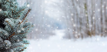 Covered With Snow Branch Spruce  On Blurred  Background During Snowfall, Copy Space. Winter Background_