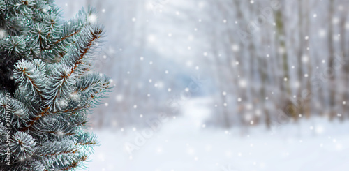 Vászonkép  Covered with snow branch spruce  on blurred  background during snowfall, copy space