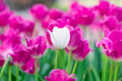 Colorful tulips are blooming in the garden