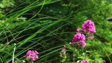 A Light Breeze Sways Decorative Tall Grass And Pink Phlox Flowers In The Summer Garden