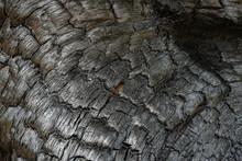 Fire-fired Pine Trunk Closeup Shot. Charred Tree.