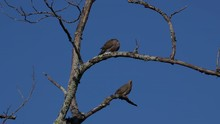 2 Grey Mourning Doves Depart F...