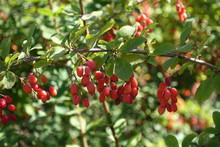 Horizonatl Branch Of Common Barberry With Red Berries In Autumn