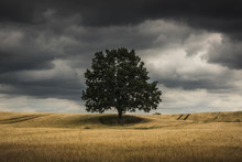 Lonely Tree In A Masurian Field And Storm Clouds Somewhere In Poland