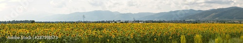 Sunflower field near the Balkan mountains before the rain. The terrain in southern Europe. Panorama.