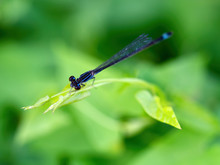 Blue-tailed Or Common Bluetail Damselfly, Ischnura Elegans, Dorsal View.