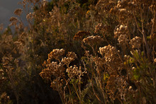 Close Up View Of Dried Flowers With Sunset On Background