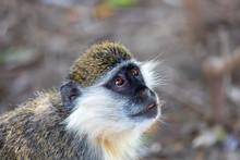 Vervet Monkey In Awash National Park, Ethiopia Wildlife