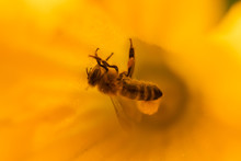 Bee On Flower - Bee Pollinating Yellow Pumpkin Flower, Sunny Summer Day, Close Up View