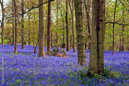 Garden Poster Forest Bluebell Woods Greys Court Oxfordshire England UK