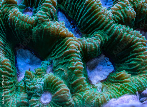 Poster Sous-marin green and white Favia sp. Large Polyp Stony coral in aquarium