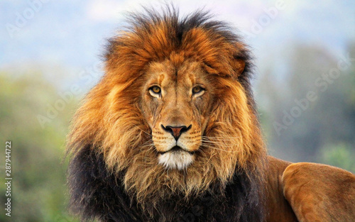 Spoed Fotobehang Leeuw male lion big cat