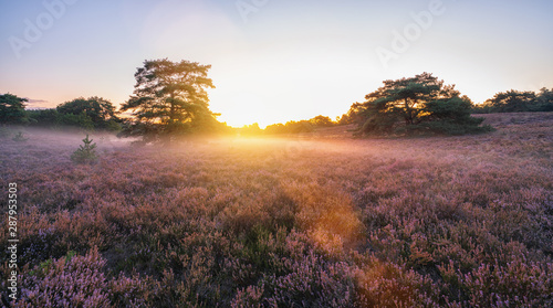 Cadres-photo bureau Brun profond sunrise over flowering pink heather with mist in summer