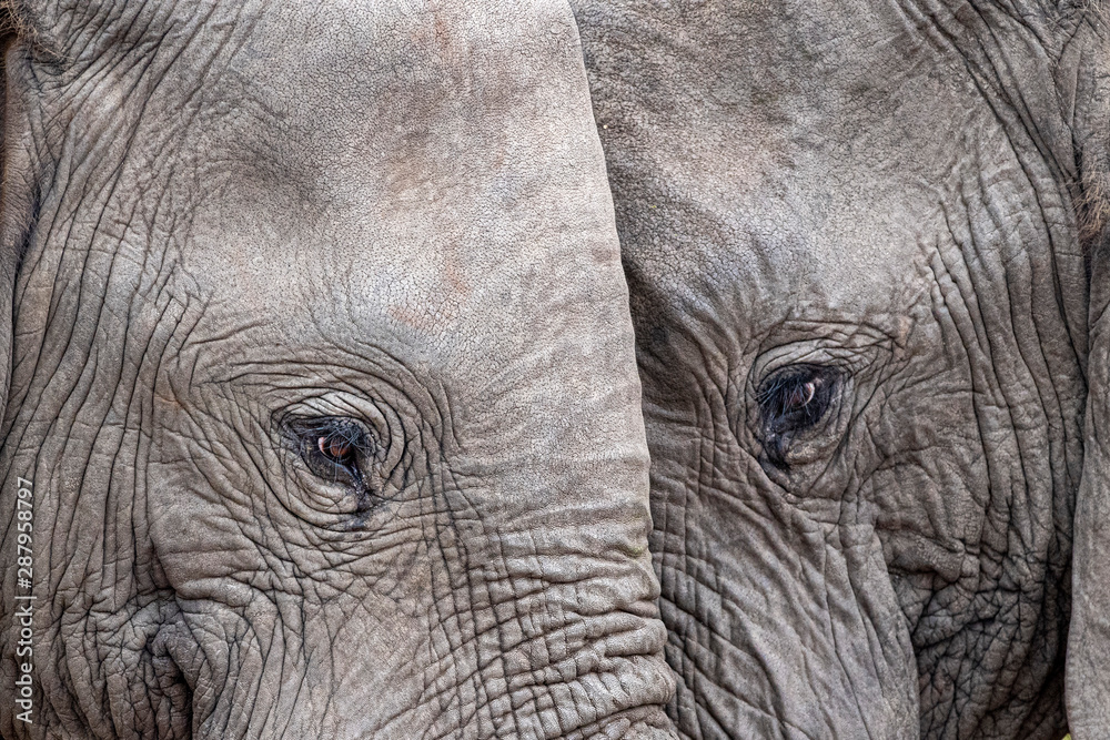Fototapety, obrazy: elephant eye close up in kruger park south africa