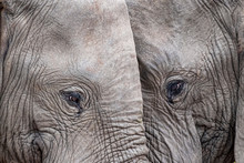 Elephant Eye Close Up In Kruge...