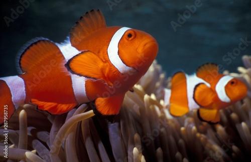 Selective closeup shot of Ocellaris clownfish (nemo) among coral reefs Tablou Canvas