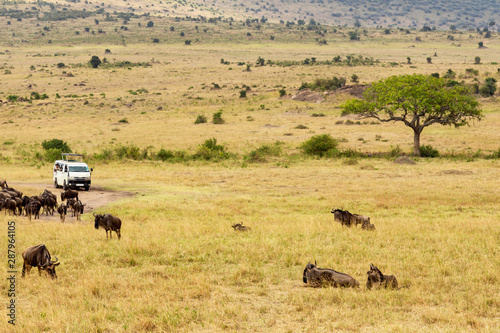 Safari concept. Safari car with wildebeests in african savannah. Masai Mara national park, Kenya.