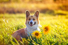 Portrait Of A Beautiful Dog Puppy Corgi Sitting On A Field With Yellow Flowers Of Sunflower In The Warm Clear Summer Day And Pretty Smiles