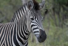 Zebra (equus Quagga) In Grassland In The Timbavati Reserve, South Africa