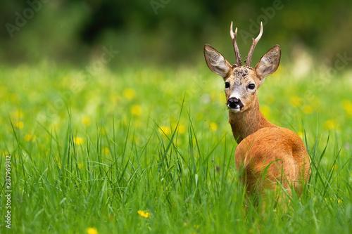 Foto op Plexiglas Ree Roe deer, capreolus capreolus, buck looking behind on a green meadow with blooming yellow wildflowers in summer with copy space. Wild deer animal in fresh nature with blurred background.