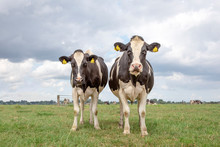 Two Black And White Cows, Holstein Friesian, Standing In A Pasture Under A Blue Sky And A Faraway Straight Horizon.