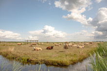 Flock Of Sheep On The Bank Of ...